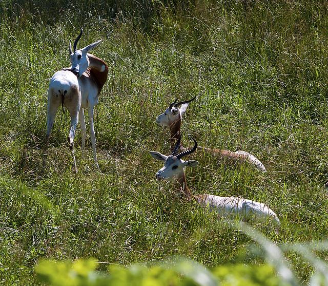 Indianapolis Zoo 05-16-2010 - Addra Gazelle 1