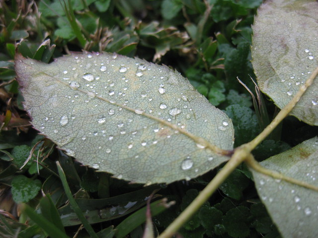 Raindrops of Rose Leaves