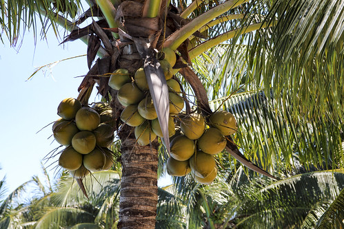 Coconuts, Valentin Imperial Riviera Maya, Mexico