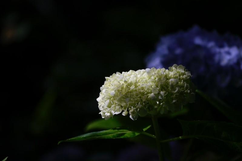沐心泉 繡球花