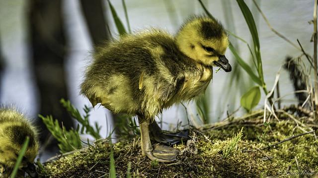 Bernache du Canada ( oison )  / Canada Goose