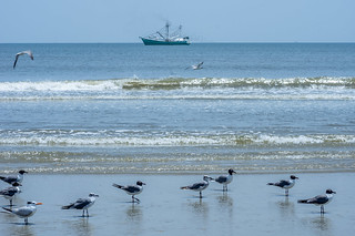 Seagulls and terns
