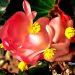 Begonias..