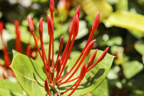 Madder flower, Valentin Imperial Riviera Maya, Mexico