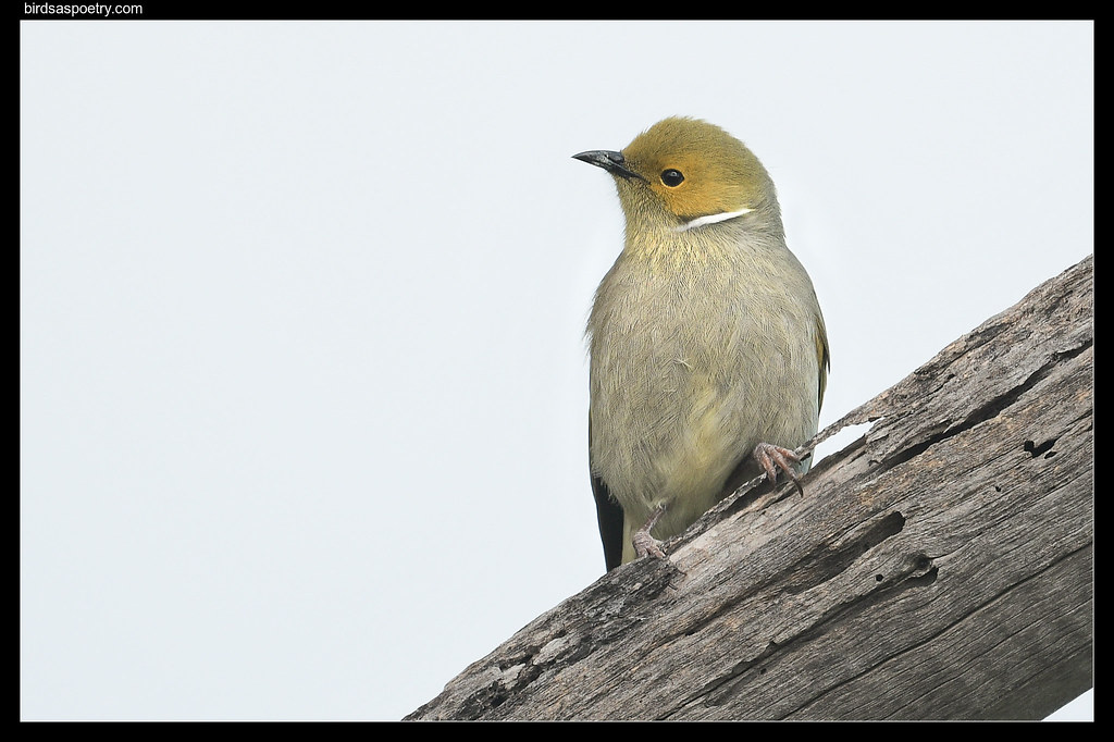 White-plumed Honeyeater: On Alert