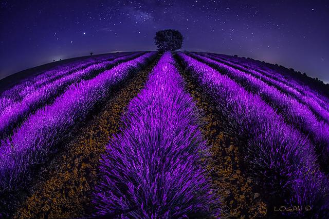 Surreal lavender fields.