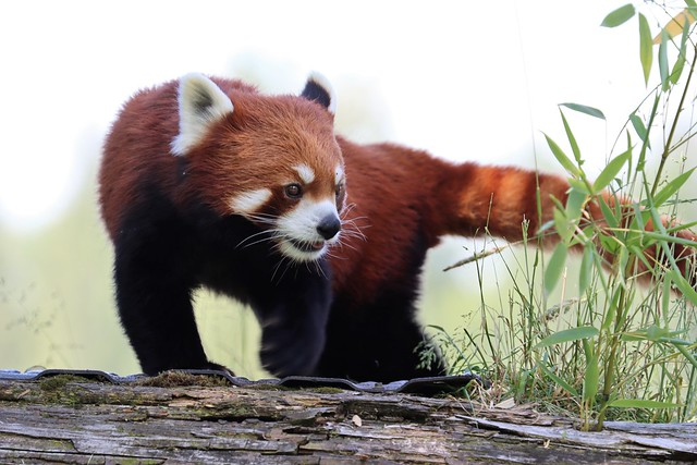 Red Panda @ Greater Vancouver Zoo- June 28,2020