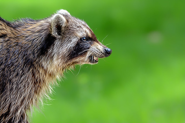 Raccoon Portrait Sitting #2