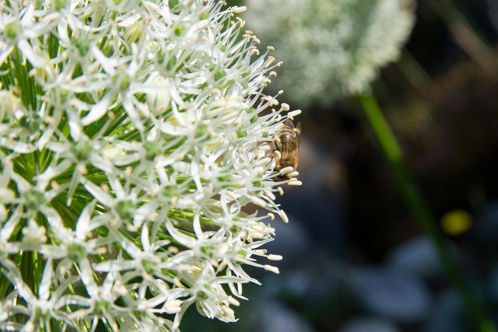 Bee on garlic flower.