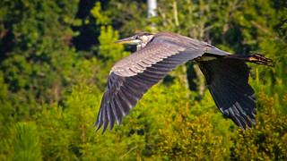 2020.06.18 Sweetwater Wetlands Great Blue Heron 8 | by Admiral Elk