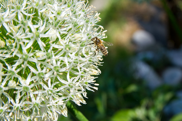 Bee on garlic flower.