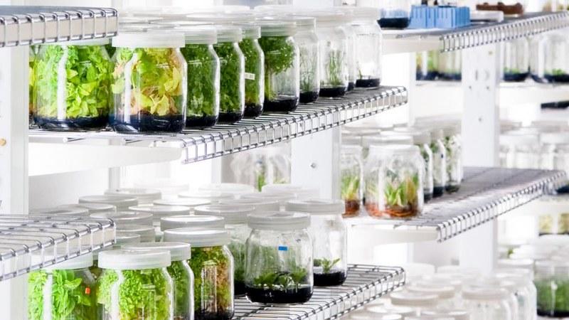 Nuôi cấy mô thực vật - các loại hormone bổ sung vào môi trường nuôi cấy