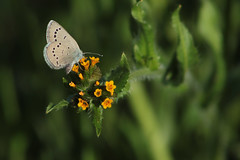 butterfly and fiddleneck 0135