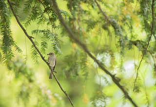 Spotted Flycatcher | by Benjamin Joseph Andrew