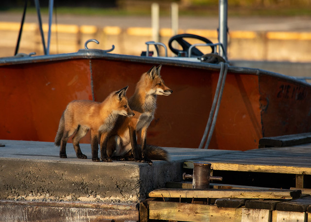 Dock Foxes