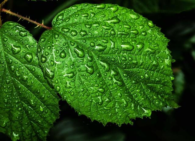 Wet leaf of summer