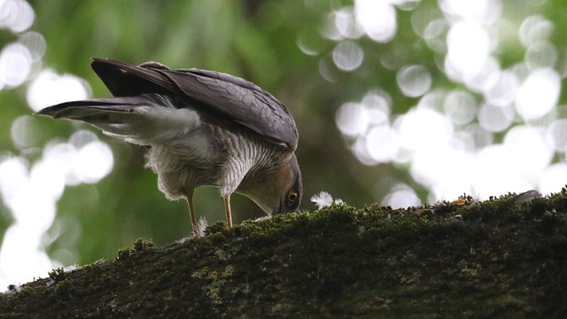 Sparrowhawk, 29062020, 04 f