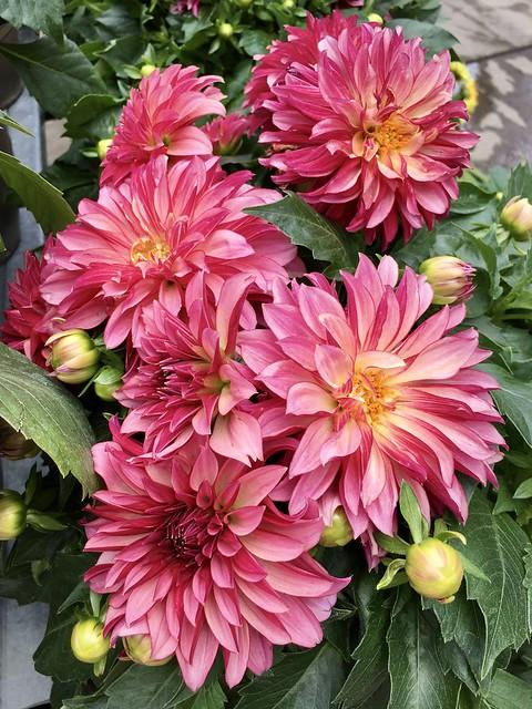 Alluring beautiful Dahlias