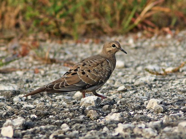 Mourning Dove juvenile 01-20200629