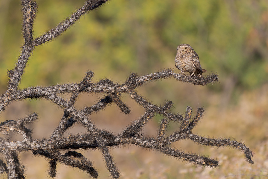 A lesser nighthawk perches on a dead buckhorn cholla on the 118th Street Trail in McDowell Sonoran Preserve in Scottsdale, Arizona in May 2020