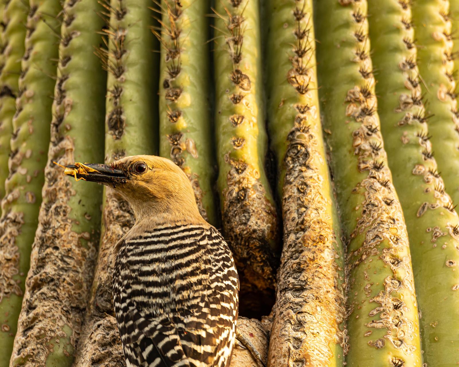 Woodpecker, Grasshopper, Cactus