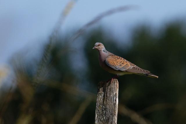 Tourterelle des bois - Streptopelia turtur - European Turtle-Dove - Turteltaube - Tórtola Europea - Tortora selvatica