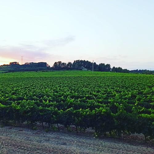 Tapís de #vinyes al #capvespre #Gelida #Penedès