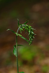 Kent's Broad-Leaved Helleborines - Epipactis helleborine