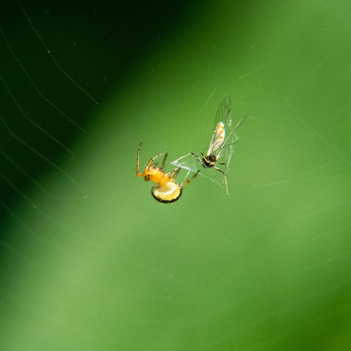 Cucumber green spider and fly