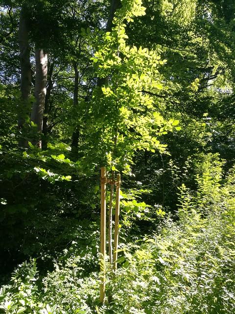 Kirchen�s Baum im Schlosspark ??