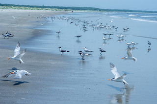 Seagulls and terns (2)