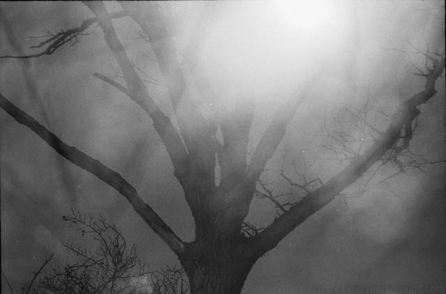Light, tree on Tri-X