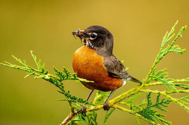 American Robin with lunch!