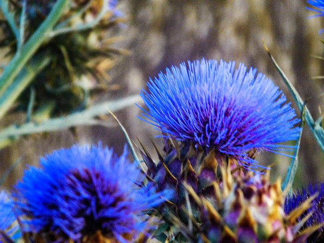 Cardoon or Artichoke Thistle