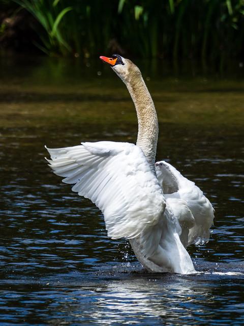 Swan, Boise River Greenbelt, Summer 2020