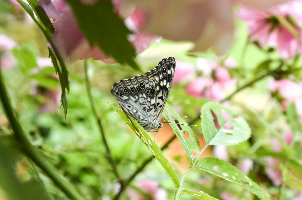 Hackberry Emperor and Roses