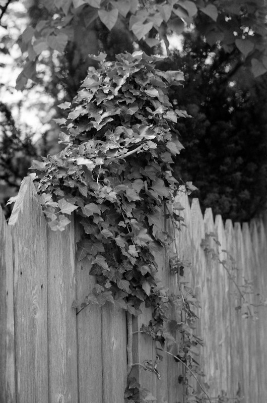 Vine on the Wooden Fence