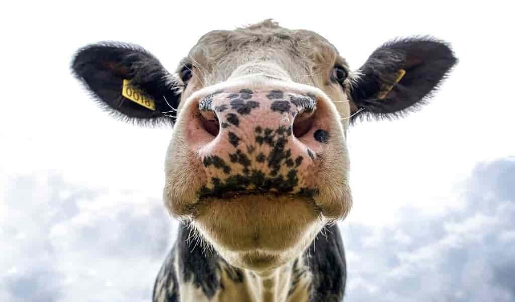 le-lait-cru-propage-des-gènes-de-la-résistance-aux-antibiotiques(1)