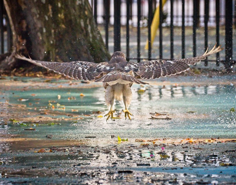 Red-tail fledgling playing in a sprinkler