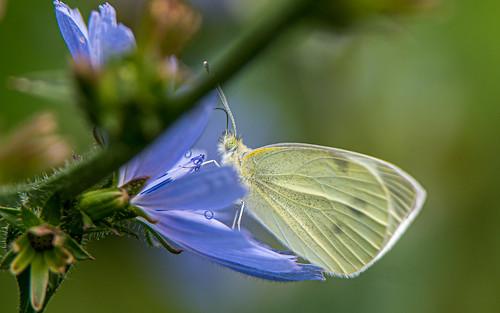 southern small white - Pieris mannii - Scheefbloemwitje