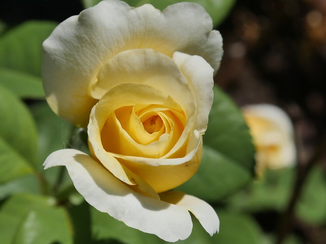 Yellow rose unfolds