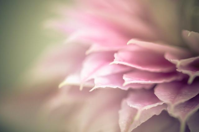 Clematis close up