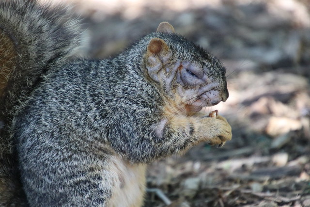 Fox Squirrels in Ann Arbor at the University of Michigan during my