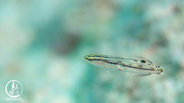 キンセンハゼの幼魚