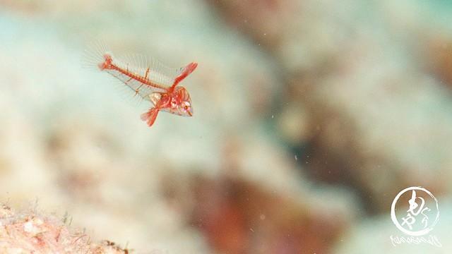 セジロノドグロベラの幼魚