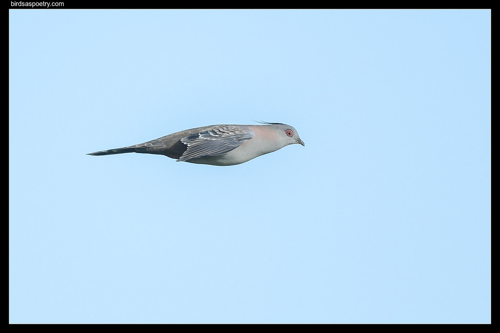 Crested Pigeon: Aerodynamic