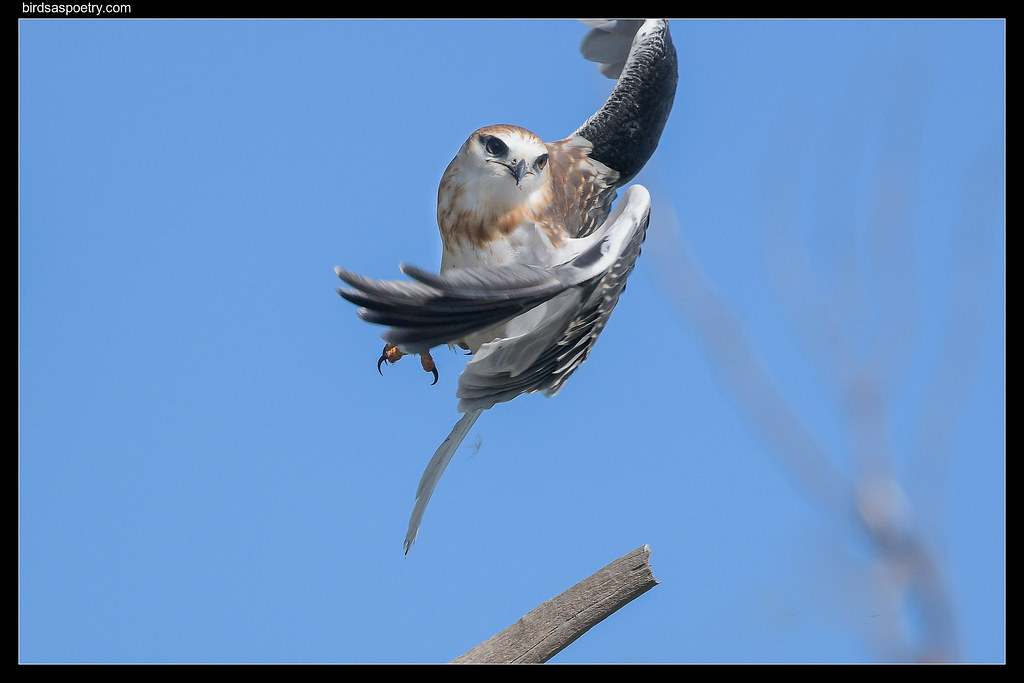 Black-shouldered Kite: Up and Away