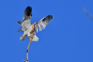 Black-shouldered Kites Juv. ( flying well and slill working on landing skills | by friendsintheair