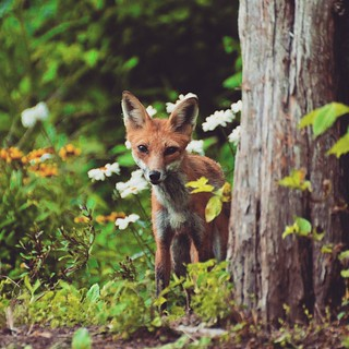 Fox kit | by timvermicon