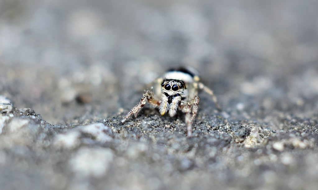 Spider baby ..  Old Micro Nikkor 55/3.5 (1963) close-up